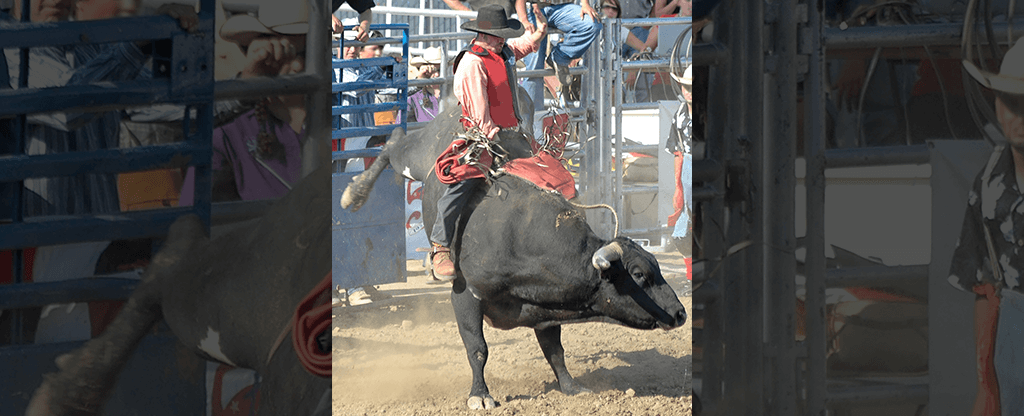 Cowboy riding a bull at the rodeo.